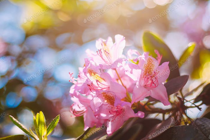 Blooming Pink Flowers of Rhododendron catawbiense In Spring Garden
