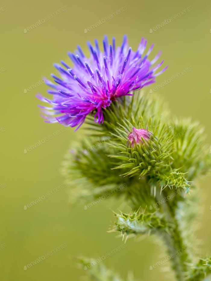 Creeping Thistle flower