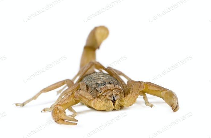 Scorpion (Androctonus mauretanicus)