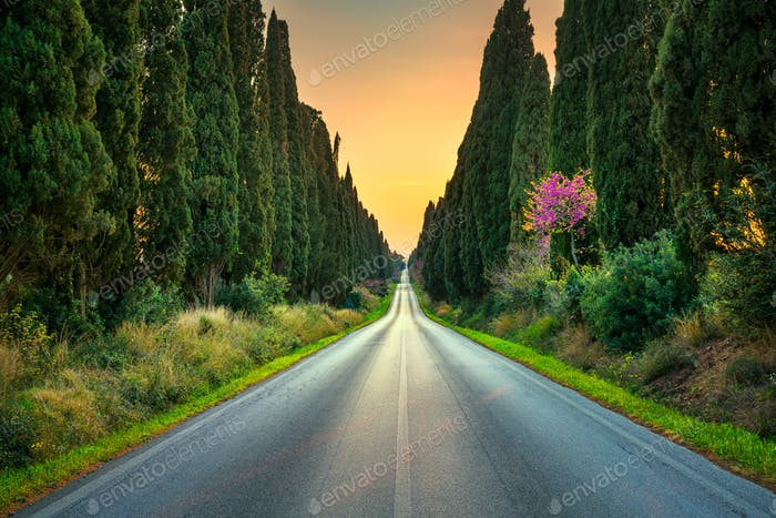 Bolgheri famous cypresses tree straight boulevard on sunset. Mar