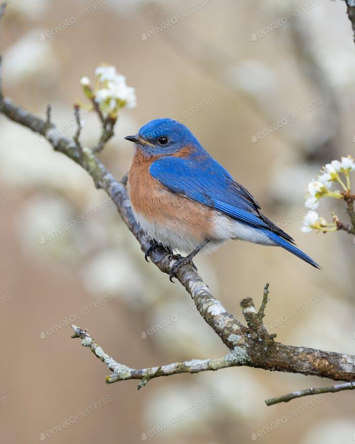 Eastern Bluebird in Plum Tree