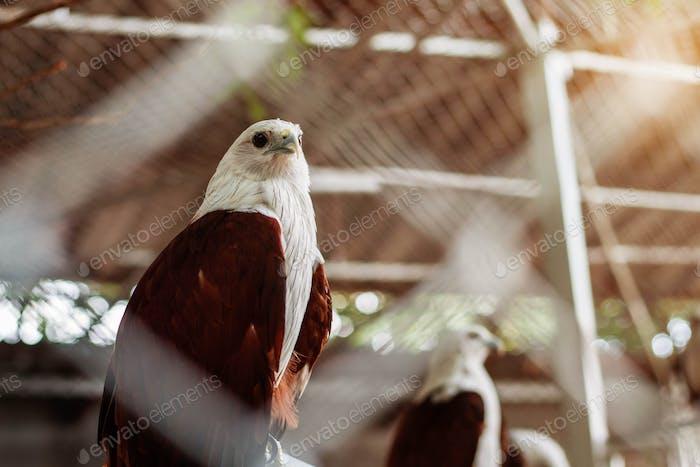Falke von Thailand Zoo