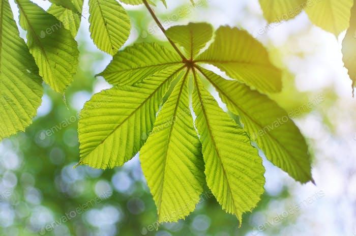 Spring leaf of chestnut.