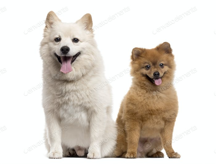 Couple of a Pomeranian and a Spitz, isolated on white