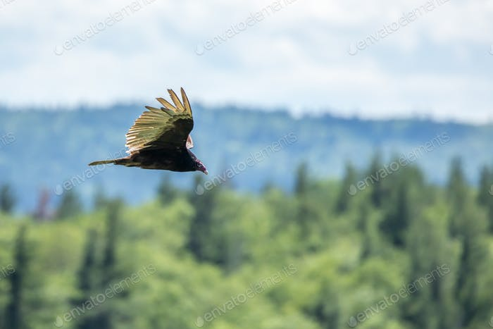 Turkey Vulture - Cathartes aura, eye-level profile while flying over forested hills.