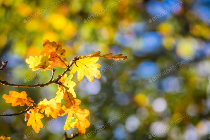 Backlit yellow leaves on a tree in autumn