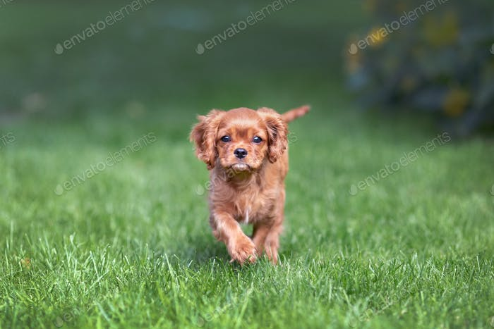 Cavalier spaniel puppy running in the grass