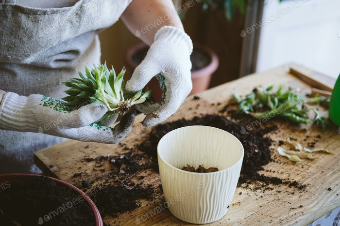 Home garden. How to Transplant Repot a Succulent, propagating succulents. Woman gardeners hand