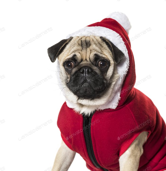 Pug in Santa suit against white background