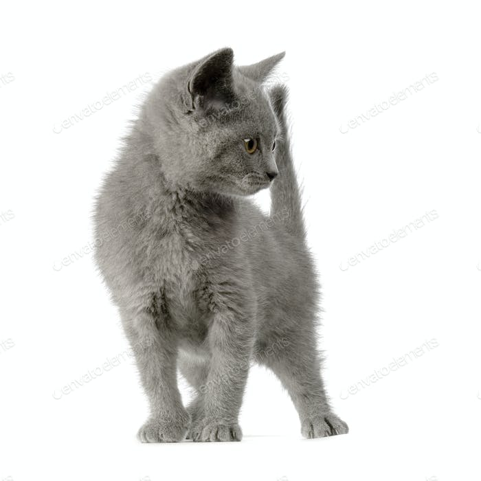 Chartreux Kätzchen