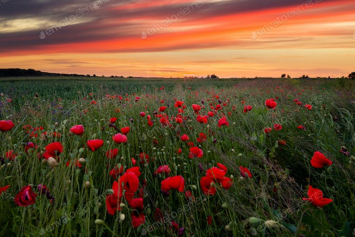 Field with flowering poppies. Beautiful summer landscape