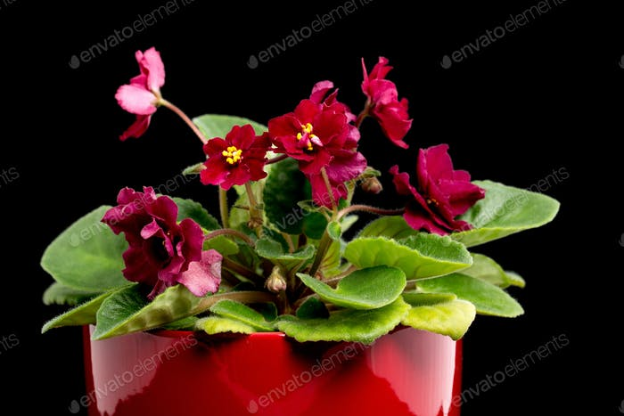 Beautiful home flowers violets.