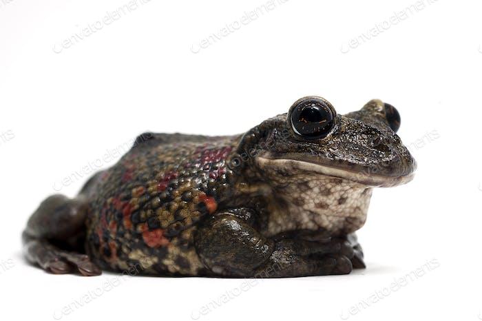 Giant flying frog isolated on white background