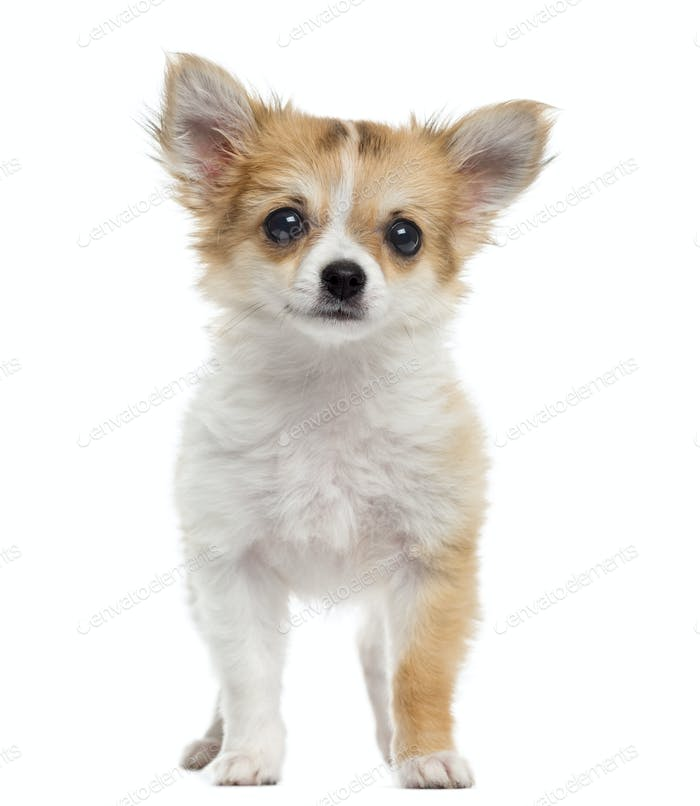 Chihuahua puppy standing, looking at the camera, isolated on white