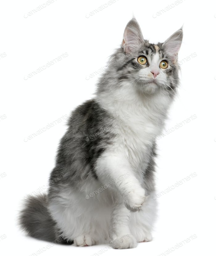 Maine coon kitten, 7 months old, with one paw up sitting in front of white background
