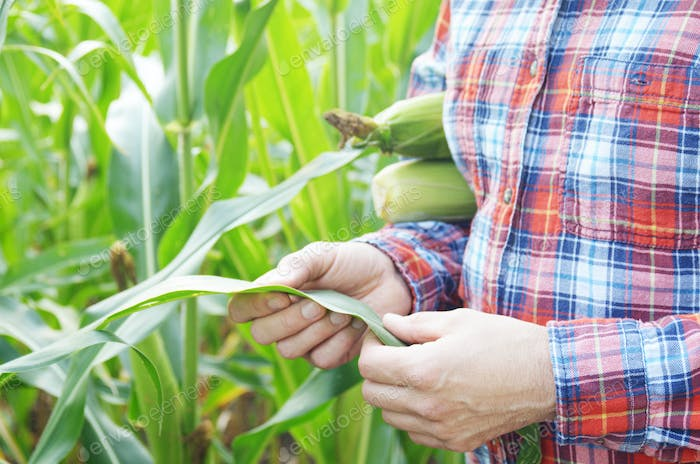 Farmer inspecting leaves of corn stalks at field