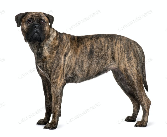 Bullmastiff dog, 1 year old, standing in front of white background