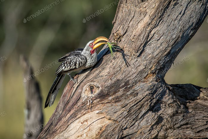 Yellow-billed hornbill with Praying matis.