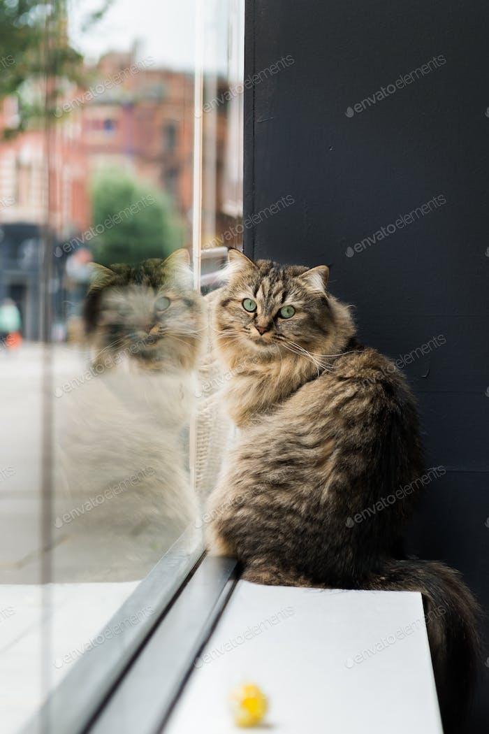Beautiful Birman Cat near the window