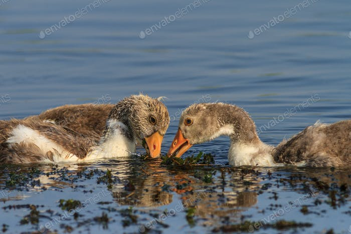 domestic geese chicks on the lake