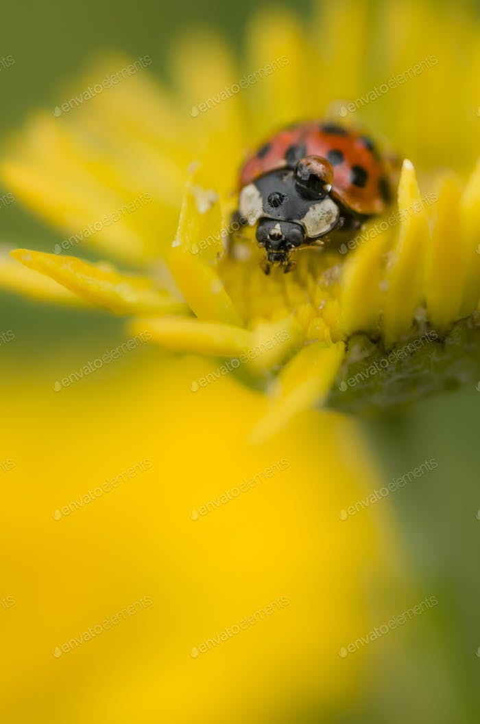 Ladybug with dew drop