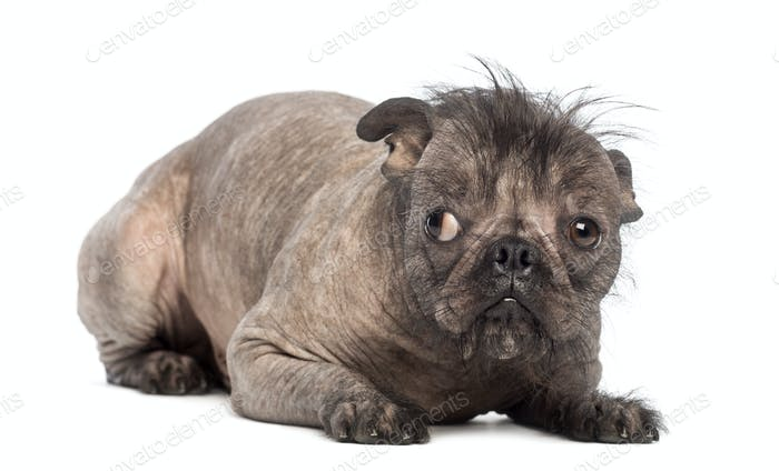 Hairless Mixed Breed Dog Mix Between A