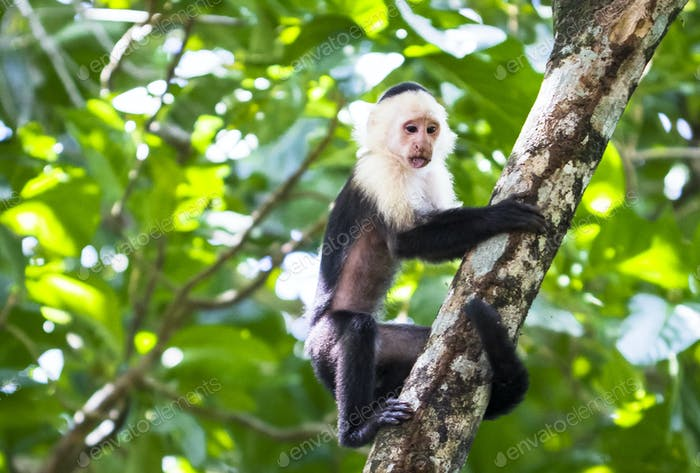 White-faced Capuchin Monkey in a Tree in Costa Rica