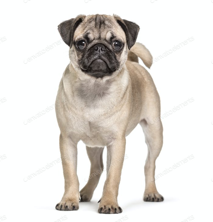 Pug standing in front and looking at the camera, Dog, pet, studio photography, cut out