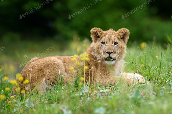 Lion cub in grass. Animal wild predators in natural environment