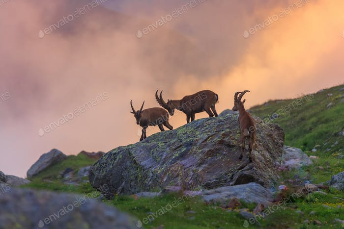 Steinbock, Mont-Blanc, Französische Alpen