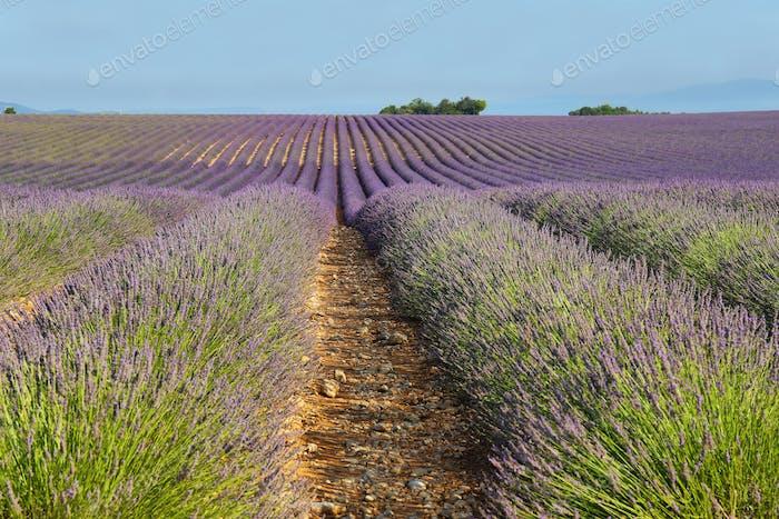 Lavendelfeld in Valensole, Provence, Frankreich