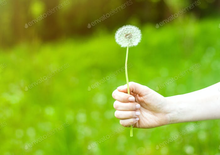 Lovely summer picture of a female hand holding dandelion