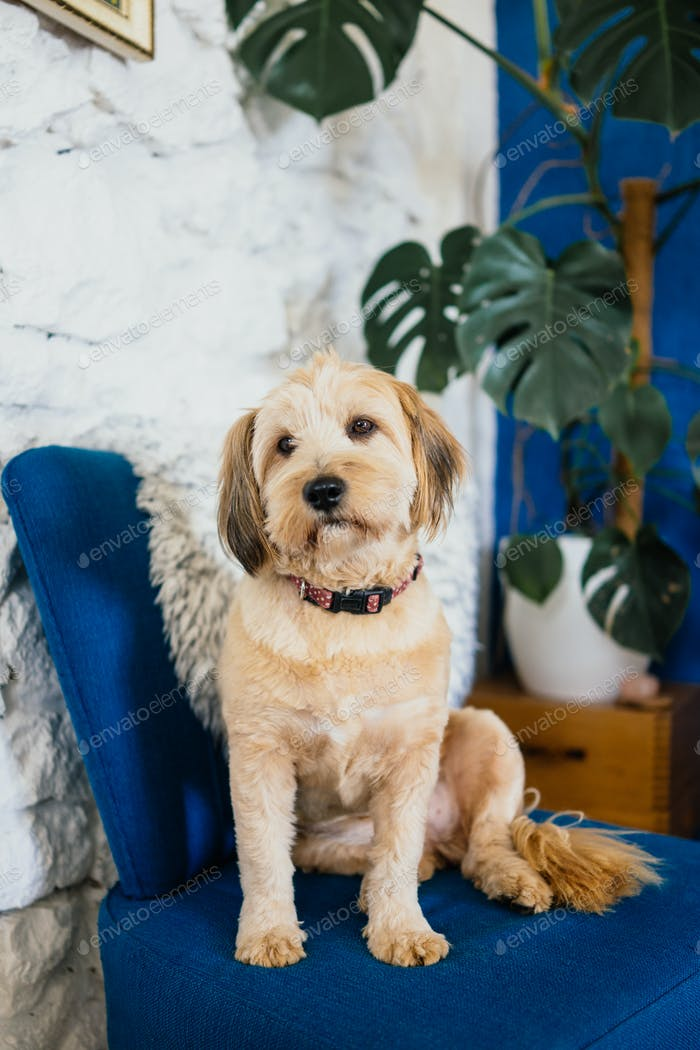 Dog sitting on a blue armchair
