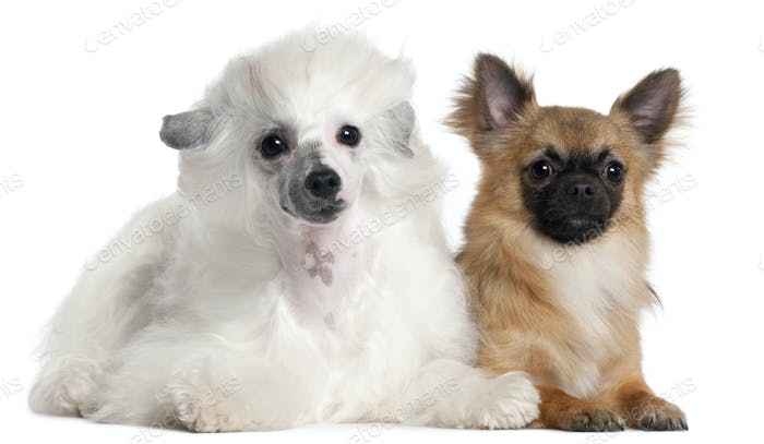 Chihuahua, 1 year old, and Chinese Crested Dog, 1 year old, lying in front of white background