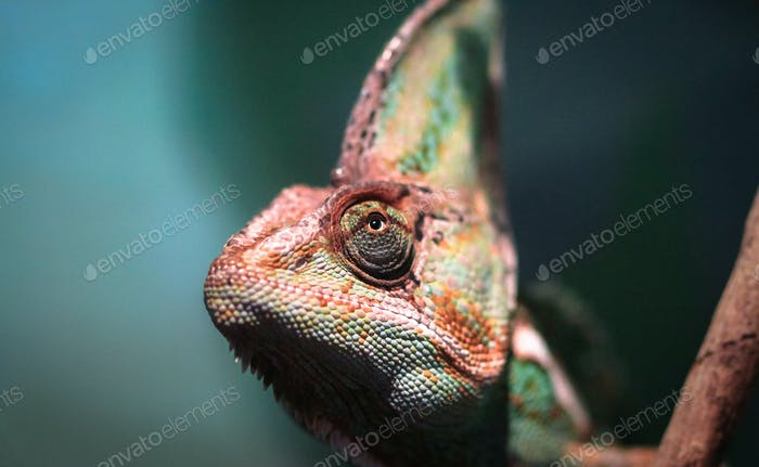 Veiled Chameleon Head Up Close