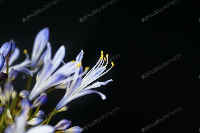 Closeup of agapanthus flower