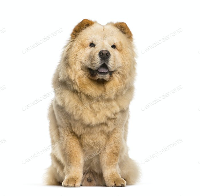 Chow Chow sitting in front of white background