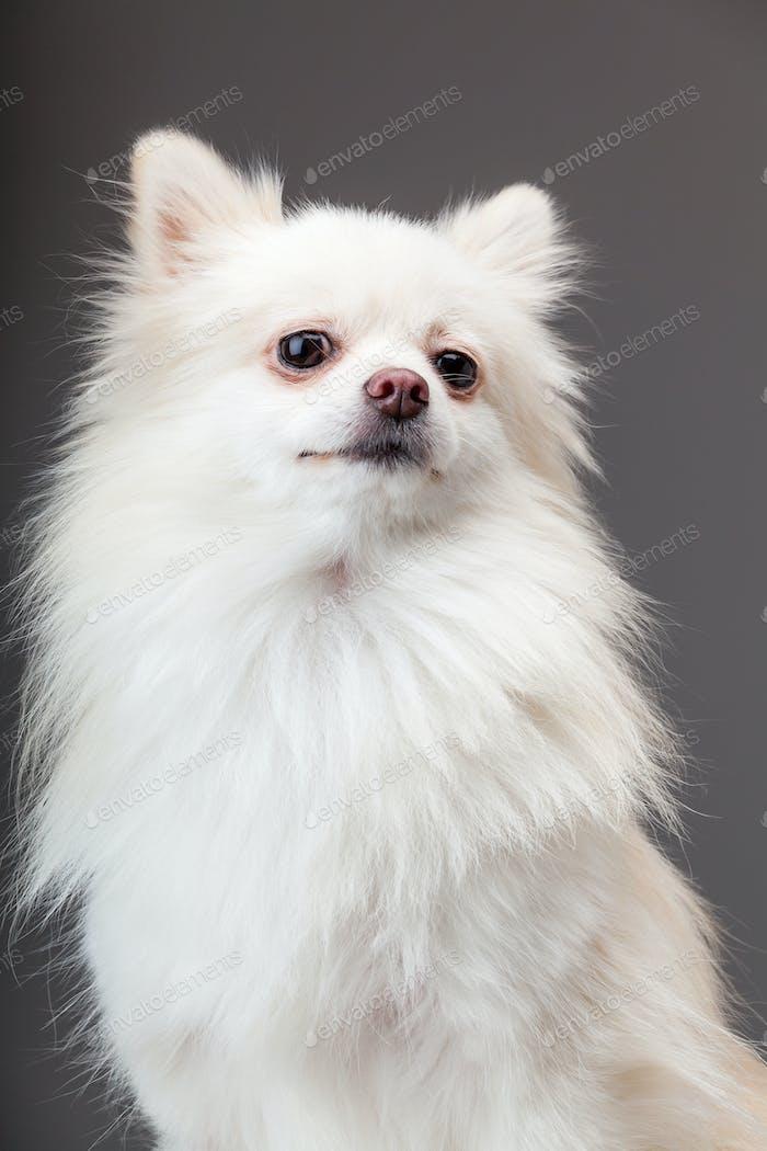 Pomeranian dog with grey background