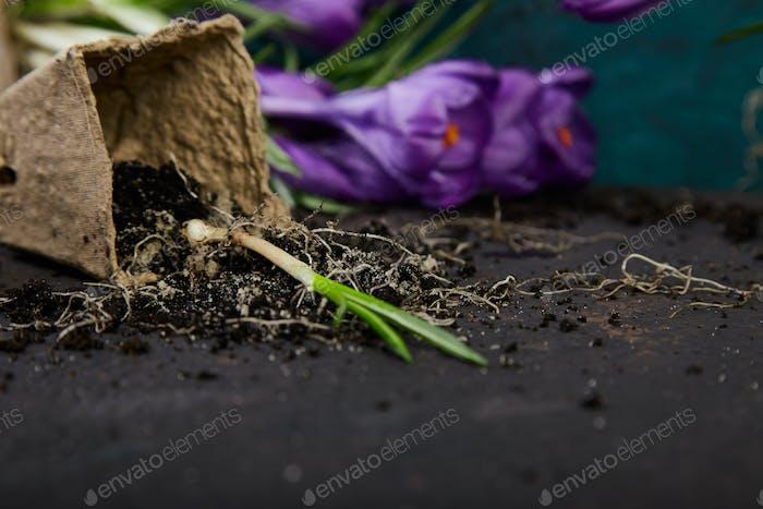 Gartenarbeit Torftöpfe, Krokusblüten und junge Sämlinge. Frühling