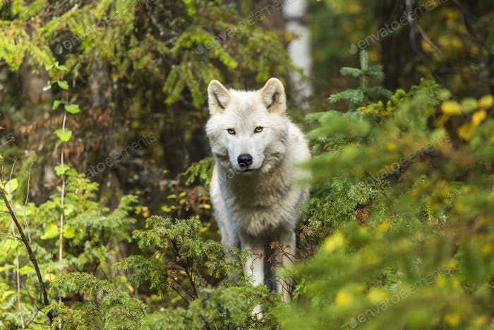 Front view of Grey Wolf standing in a forest, looking at camera.