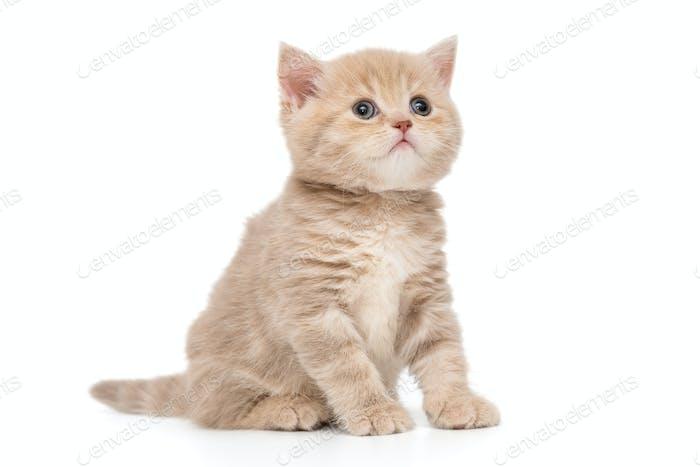 British kitten beige color