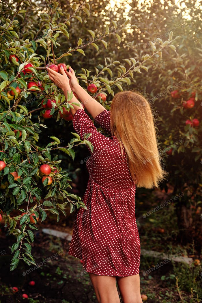 Girl in red dress is picking red apples in orchard