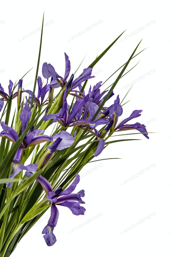 Flowers of Iris pseudacorus close-up, isolated on white backgrou