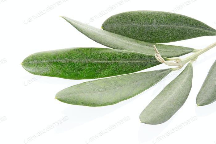 Olive twig closeup