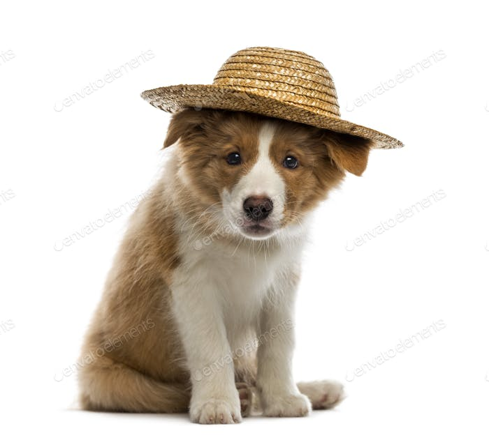 Border Collie puppy wearing a straw hat