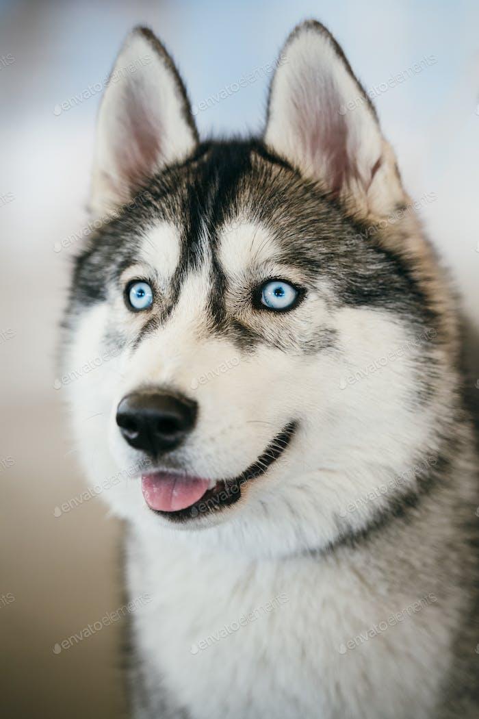 Blauäugige grau Adult sibirischen Husky Hund Porträt