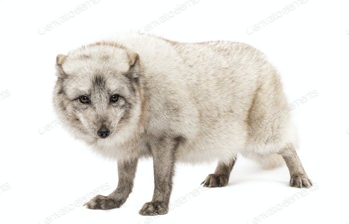 Arctic fox, Vulpes lagopus, standing, looking a camera