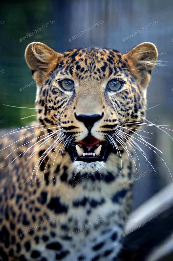 Close angry leopard portrait