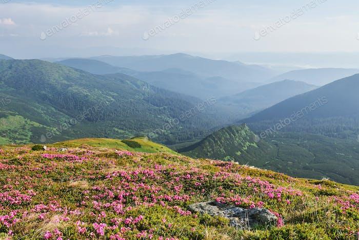 Rhododendren blühen in einer schönen Lage in den Bergen. Blumen in den Bergen. Blühende