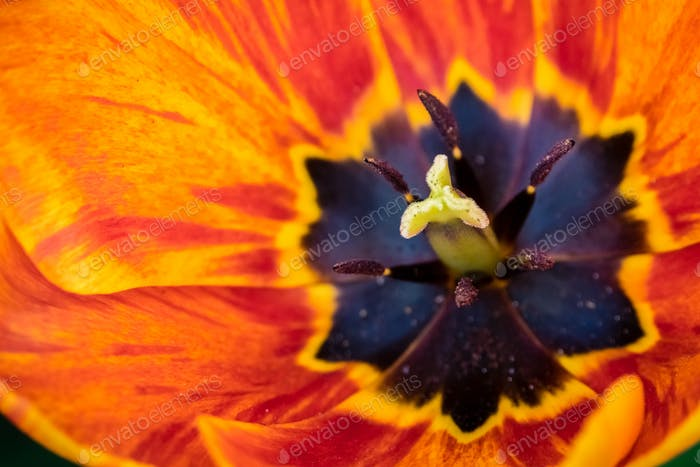 Red, yellow and orange tulip head
